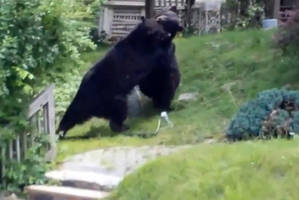 Black bears brawl in quiet New Jersey suburb